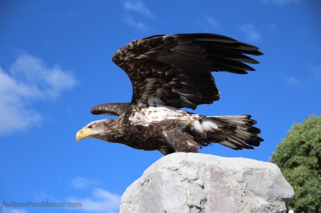 Equateur - Parque Condor- Aigle Royal