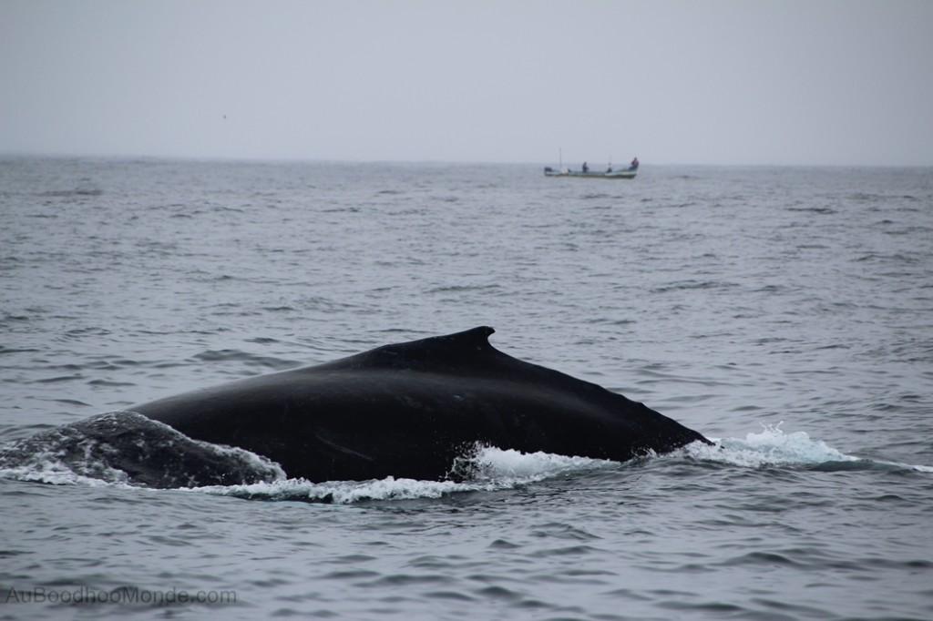 Equateur - Baleine