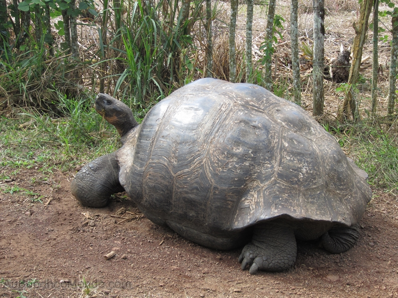 Galapagos - El Chato - Tortues geantes