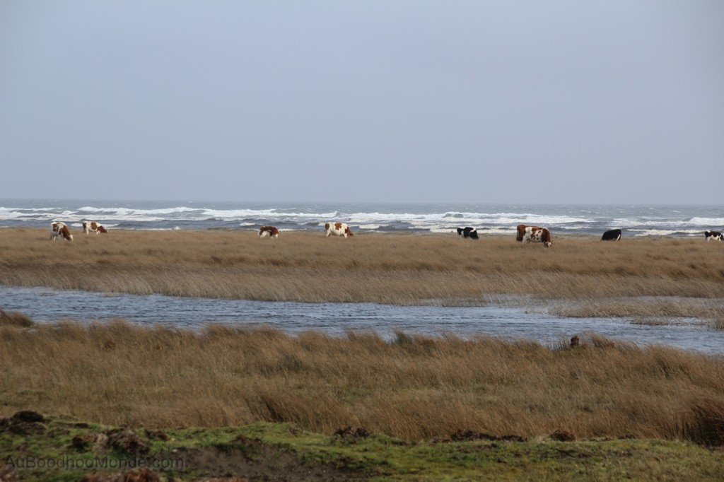 Chili - vaches sur la plage Chiloe