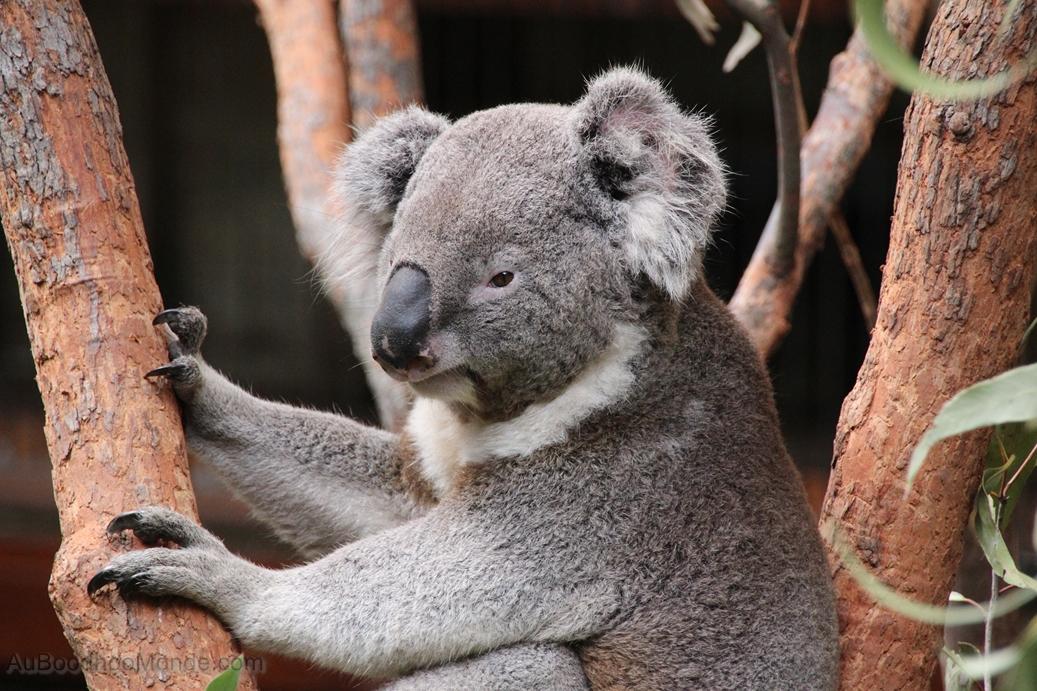 Tour du Monde - Australie - Koala