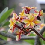 Tahiti - Tipanier