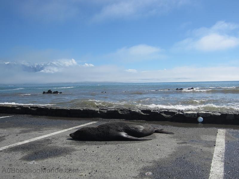 Nouvelle-Zelande - Kaikoura Seal