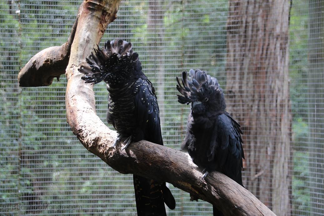 Australie - Blackputt Reserve - Oiseaux