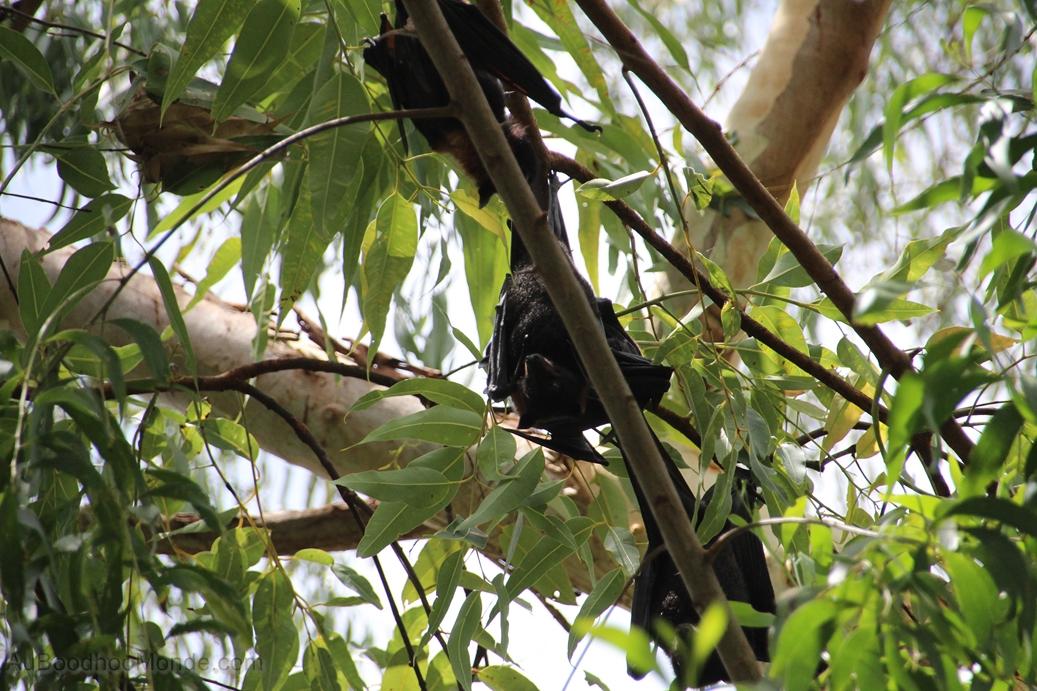 Australie - Chauve-souris