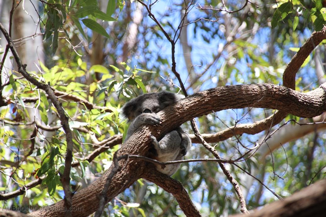 Australie - Hopital koalas