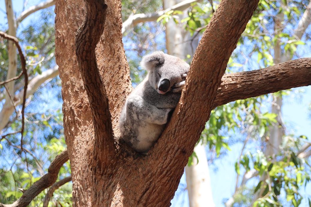 Australie - Koala dodo