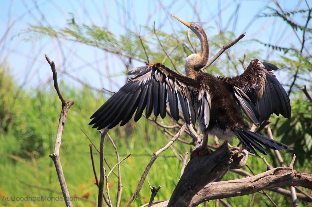 Australie - Oiseaux marecages