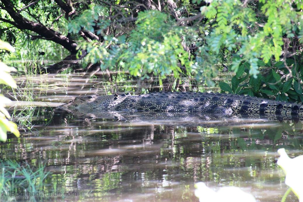 Australie - Saltwater Crocodile