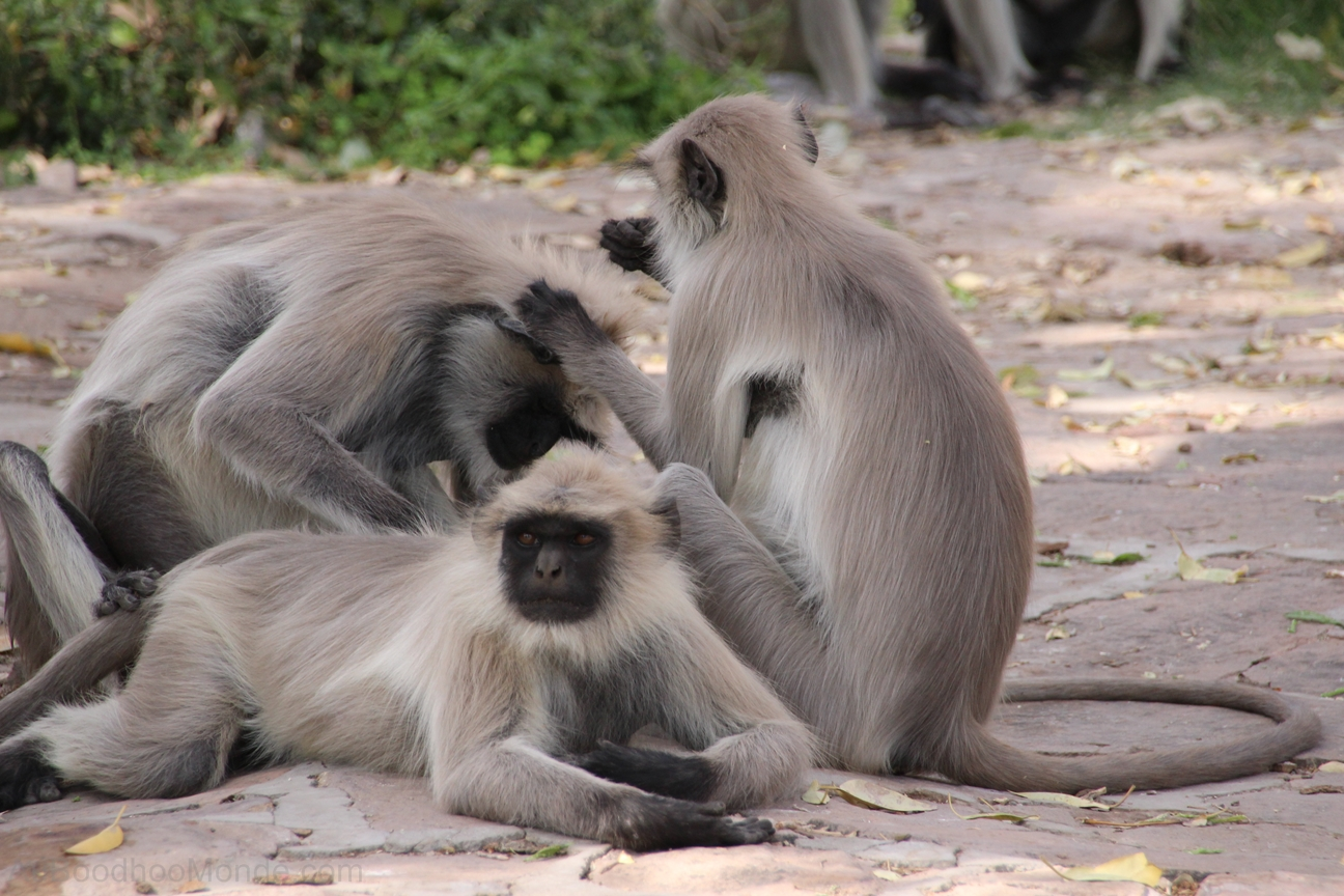 Inde - Rajasthan - Jardins de Mandore - Singes
