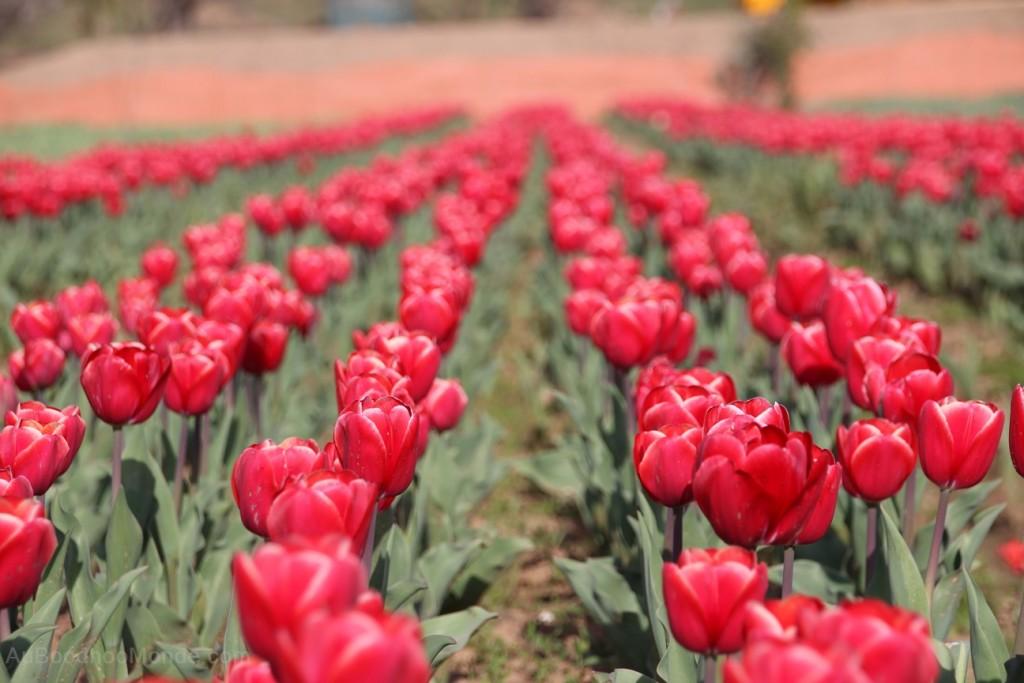 Cachemire champ de tulipes