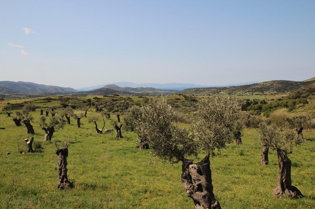 Grece - Naxos - champ oliviers