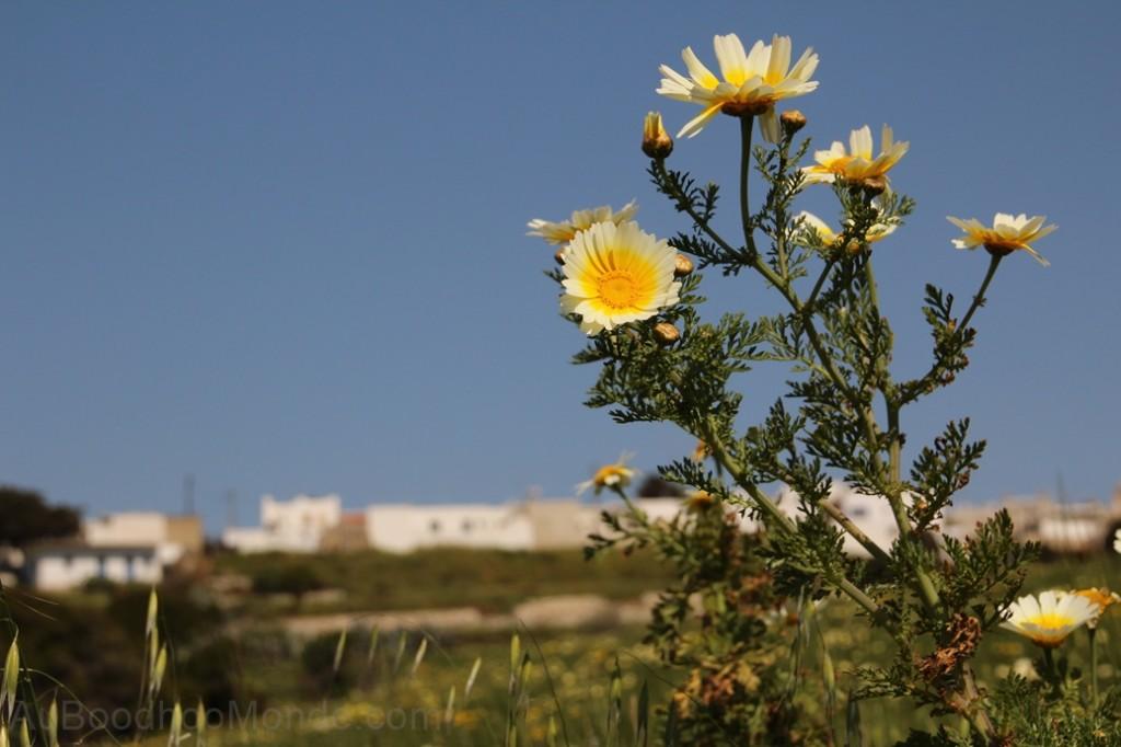 Grece - Naxos - fleurs